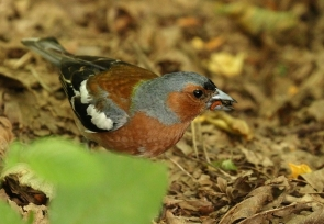 Pinson des arbres/Common Chaffinch male
