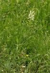 Orchis blanchâtre / Pseudorchis albida