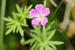 Géranium silvaticum (Géraniacées)