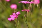 Oeillet des chartreux-Dianthus carthusianorum