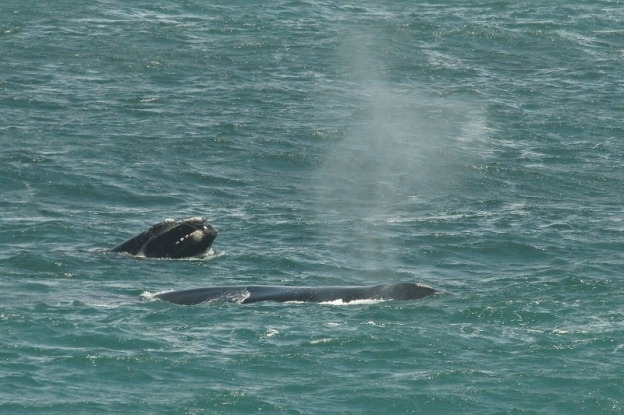 Southern Right Whale/Baleine franche