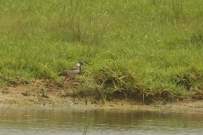 Black Smith Lapwing juv./Vanneau armé