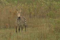 Cape Mountain Zebra/Zèbre de montagne du Cap