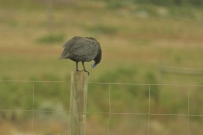 Helmeted Guineafowl/Pintade de Numibie