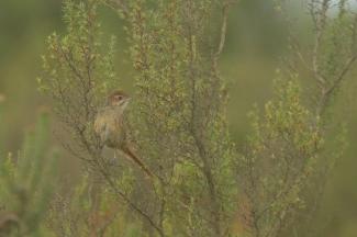 Cape Grassbird/Sphénoèque du Cap