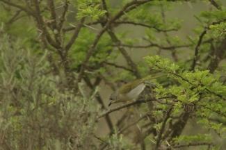 Olive Bush-Shrike/Gladiateur olive