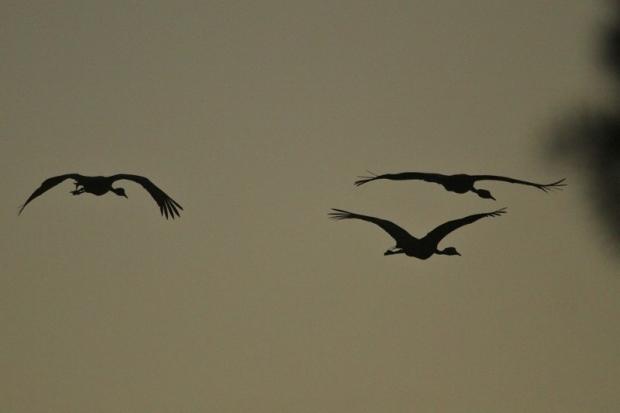 Blue Crane/Grue de paradis