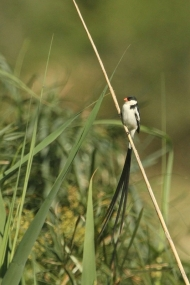 Pin-tailed Whydah/Veuve dominicaine
