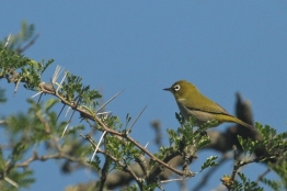 Cape White-eye/Zostérop clair