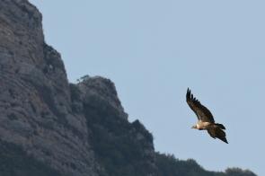 Vautour fauve/Griffon Vulture