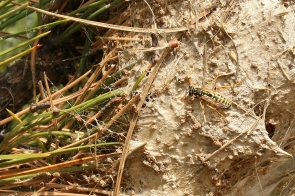 nid de Guêpe poliste (Polistes dominula) espèce de Guêpes sociables
