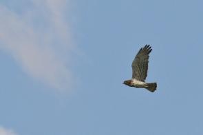 Circaète Jean-le-Blanc/Short-toed Snake Eagle