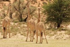Hanri (vers KTC) chassé par les Girafes