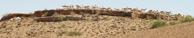 Springbok - Auchterlonie