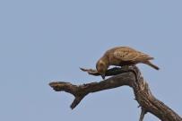 Grey-backed Sparrow-Lark/Cisticole à dos gris femelle