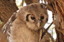 Verreaux's Eagle-Owl/Grand duc de Verreaux