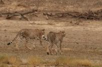 Cheetah - Elzette et Wesco