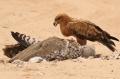 Tawny Eagle/Aigle ravisseur + Kori Bustard/Outarde de Kori