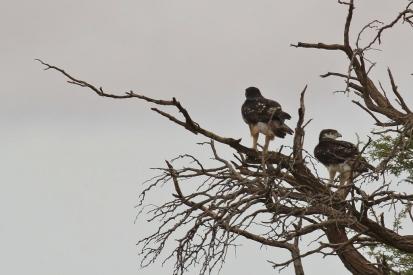 African Hawk Eagle/Aigle fascié
