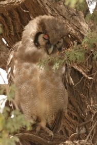 Verreaux's Eagle-Owl/Grand duc de Verreaux