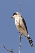 Lesser-grey Shrike/Pie-grièche à poitrine rose