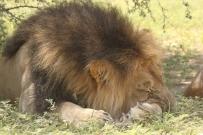 Lion - 14th