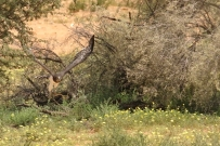 Black-chested Snake-Eagle/Circaète à poitrine noire... avec un Cobra du Cap