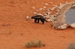 Honey Badger/Ratel