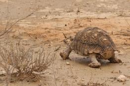 Leopard Tortoise/Torture léopard