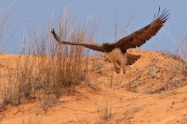Martial Eagle/Aigle Martial