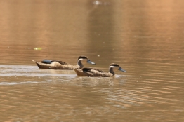 Hottentot Teal/Sarcelle hottentote