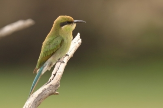 Swallow-tailed Bee-Eater/Guêpier à queue d'aronde