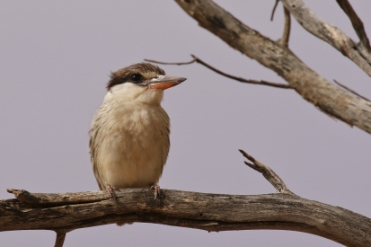 Striped Kingfisher/Martin chasseur srtié
