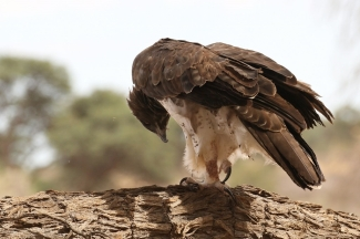 Martial Eagle/Aigle matial