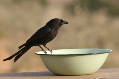 Forktail Drongo/Drongo brillant