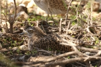 Spotted Thick-knee/Oedicnème tachard