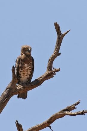 Black-chested Snake-Eagle/Circaète à poitrine noire