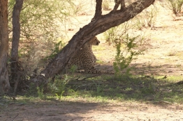Cheetah - South Urikaruus - Star (blessée) Charlize's cubs+ cubs