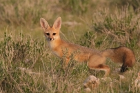 Cape Fox/Renard du Cap