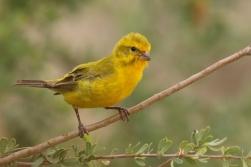 Yellow Canary/Serin de Sainte Hélène