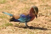 Lillac-breasted Roller/Rollier à longs brins