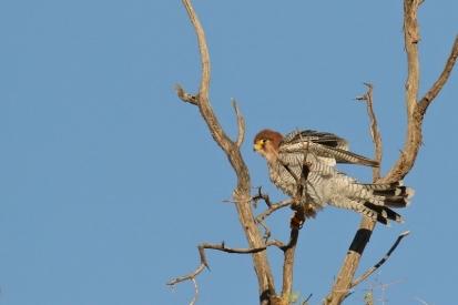 Red-necked Falcon/Faucon chicquera