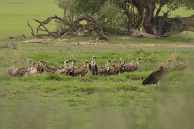 White-backed Vulture/Vautour Africain