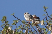 Pygmy Falcon/Fauconnet d'Afrique - male et femelle