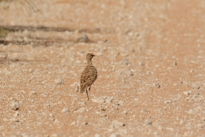 Double-banded Courser /Courvite à double collier