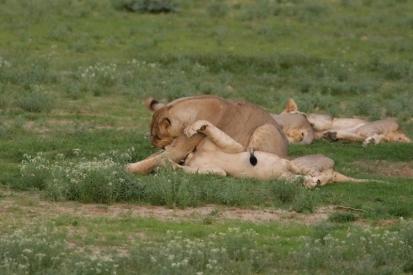 Lion au hide de Nossob