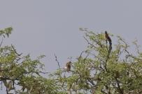 Long-tailled Paradise Whydah/Veuve de paradis