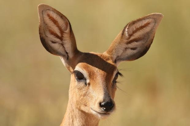 Steenbok femelle