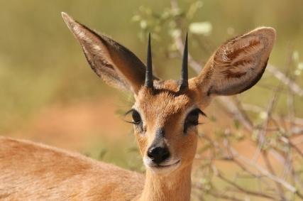 Steenbok mâle