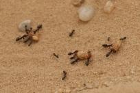 fourmi +Termite volante